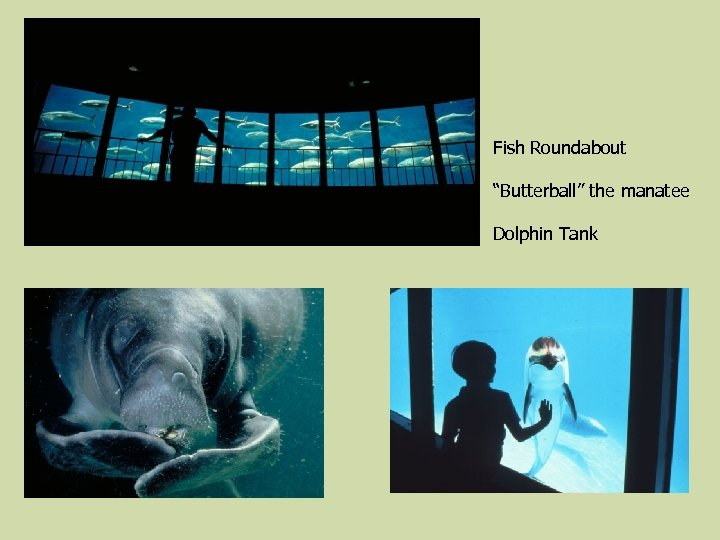 """Fish Roundabout """"Butterball"""" the manatee Dolphin Tank"""