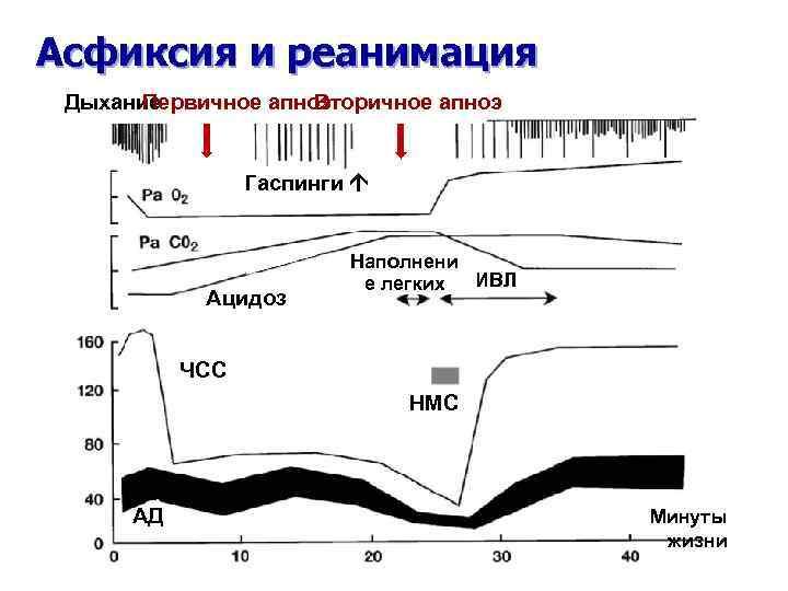 Асфиксия и реанимация Дыхание Первичное апноэ Вторичное апноэ Гаспинги Ацидоз Наполнени ИВЛ е легких