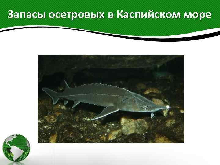 Запасы осетровых в Каспийском море