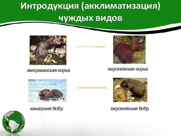 Интродукция (акклиматизация) чуждых видов американская норка канадский бобр европейская норка европейский бобр