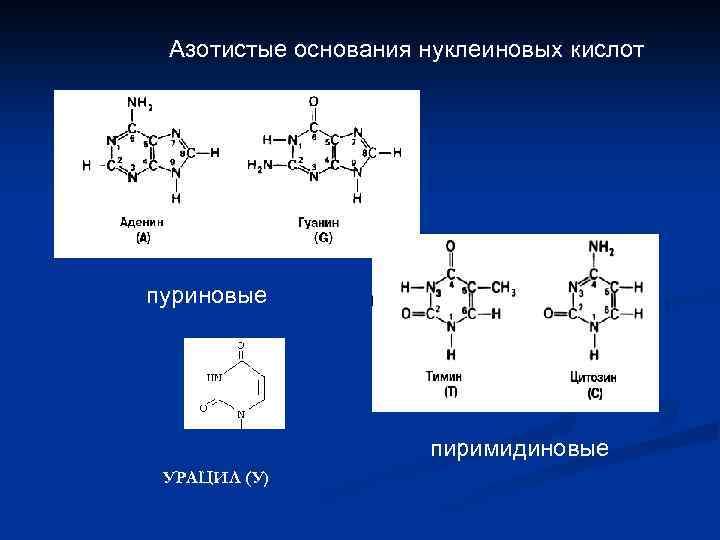 Азотистые основания нуклеиновых кислот пуриновые пиримидиновые УРАЦИЛ (У)