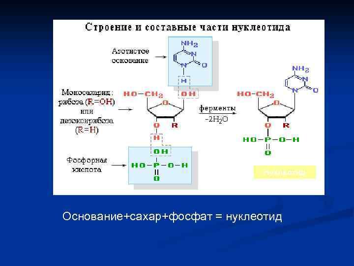 Нуклеотид Основание+сахар+фосфат = нуклеотид