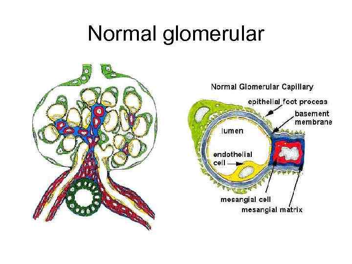 Normal glomerular