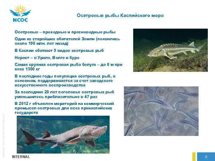 лечить водянку какие рыбы водятся в каспийском море фото считает