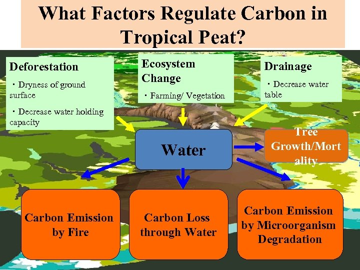 What Factors Regulate Carbon in Tropical Peat? Deforestation ・Dryness of ground surface Ecosystem Change