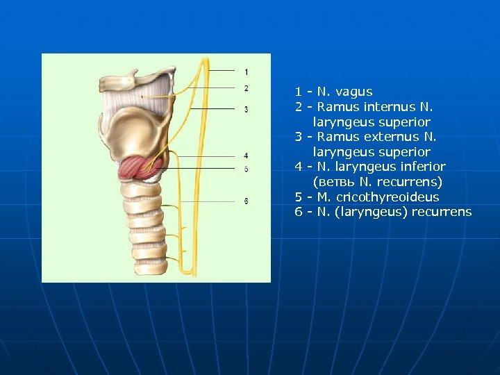 1 - N. vagus 2 - Ramus internus N. laryngeus superior 3 - Ramus