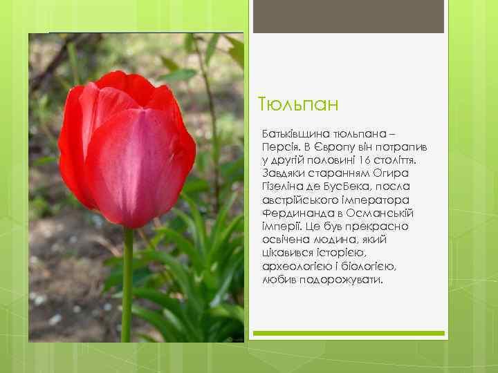 Тюльпан Батьківщина тюльпана – Персія. В Європу він потрапив у другій половині 16 століття.