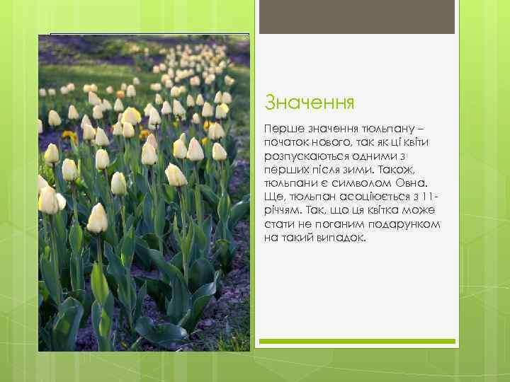 Значення Перше значення тюльпану – початок нового, так як ці квіти розпускаються одними з