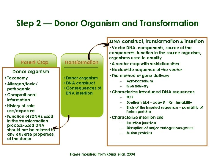 Step 2 — Donor Organism and Transformation DNA construct, transformation & insertion Parent Crop