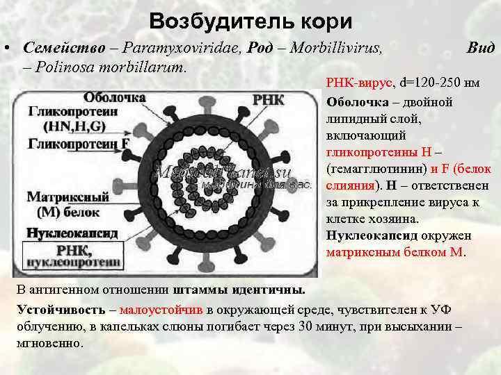 Возбудитель кори • Семейство – Paramyxoviridae, Род – Morbillivirus, Вид – Polinosa morbillarum. РНК-вирус,