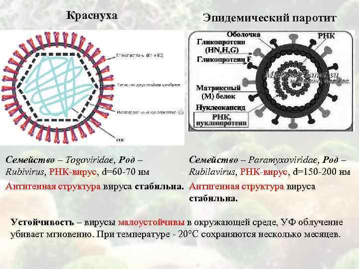 Краснуха Эпидемический паротит Семейство – Togoviridae, Род – Семейство – Paramyxoviridae, Род – Rubivirus,
