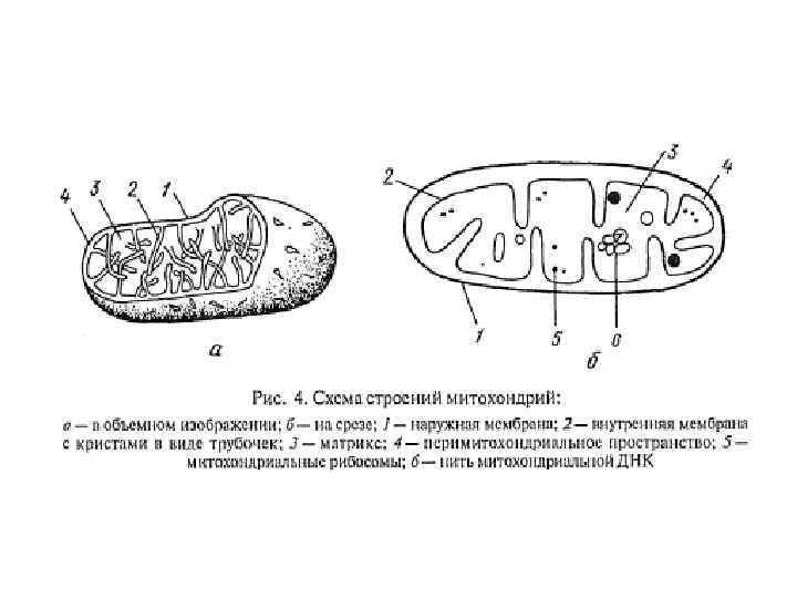 Митохондрии картинка с подписями