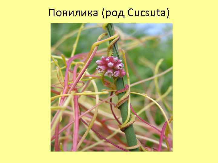 Повилика (род Cucsuta)