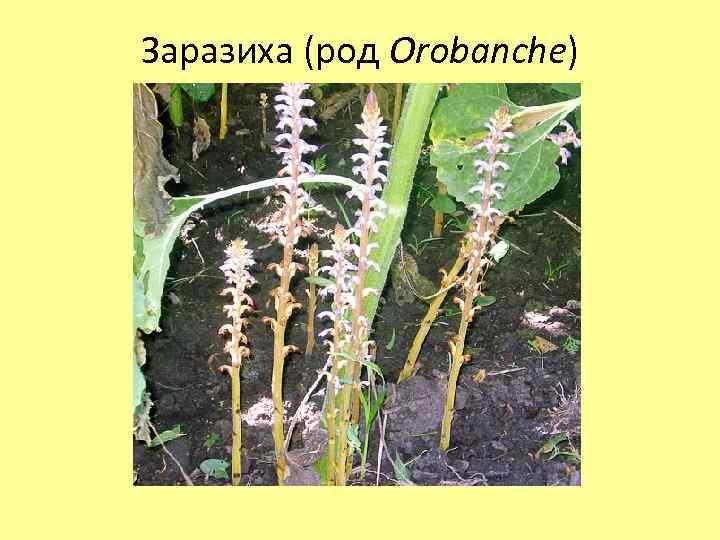 Заразиха (род Orobanche)