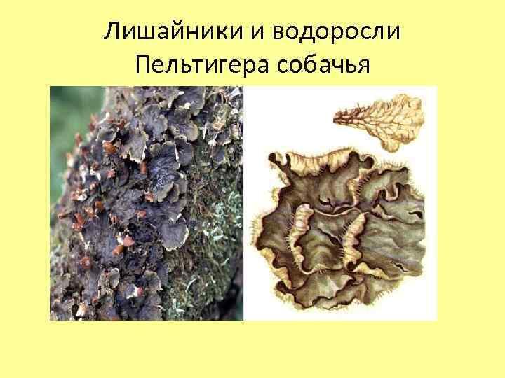 Лишайники и водоросли Пельтигера собачья