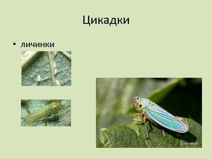 Цикадки • личинки