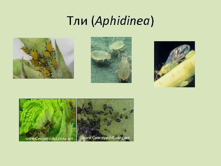 Тли (Aphidinea)