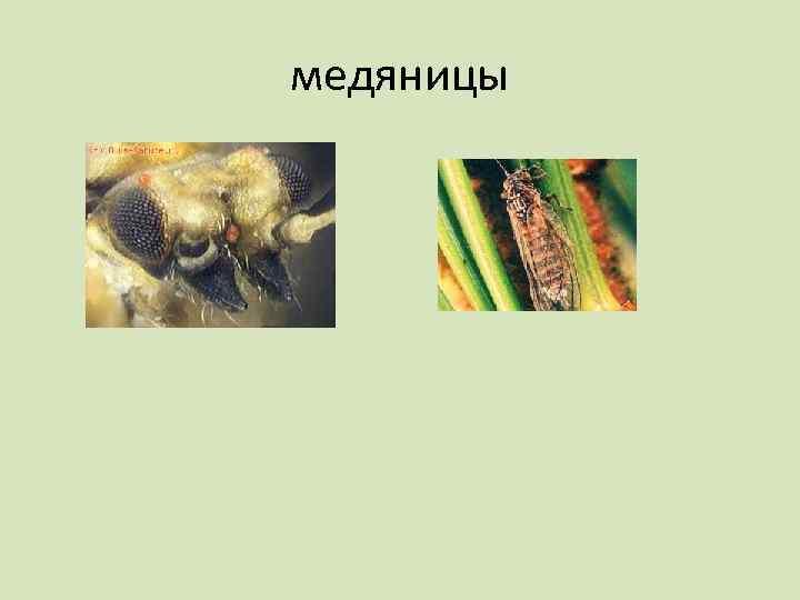 медяницы