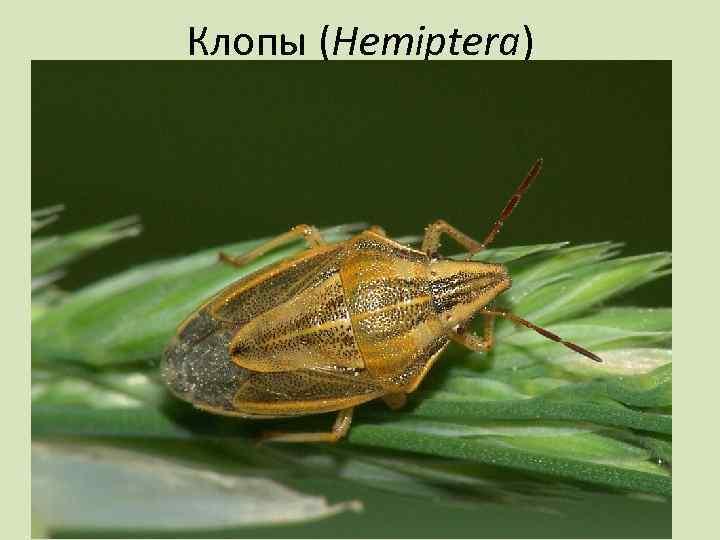 Клопы (Hemiptera)