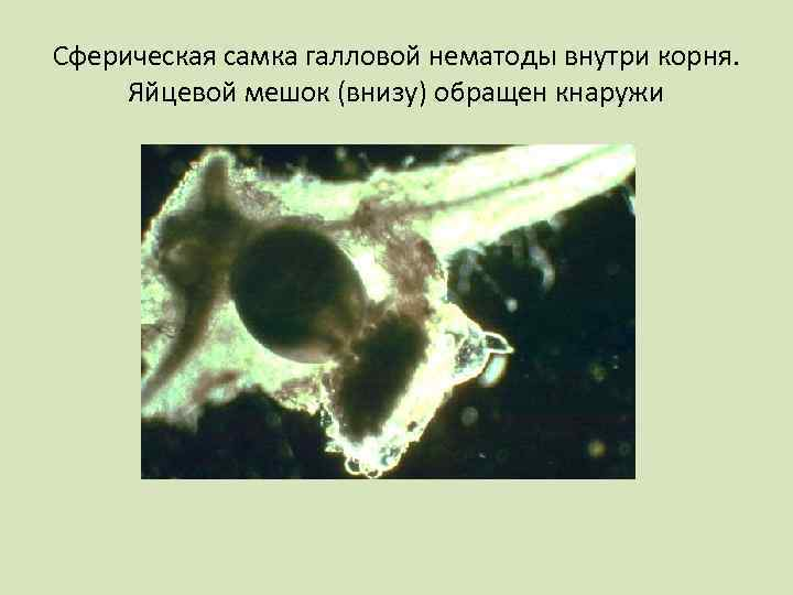Сферическая самка галловой нематоды внутри корня. Яйцевой мешок (внизу) обращен кнаружи