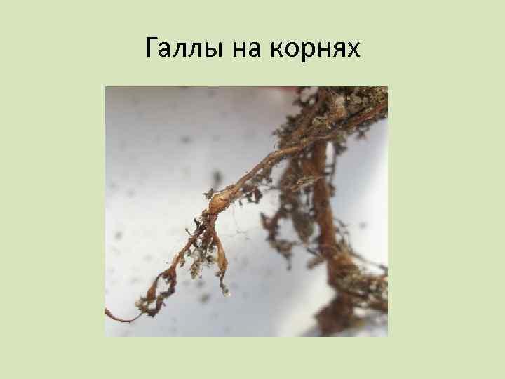 Галлы на корнях