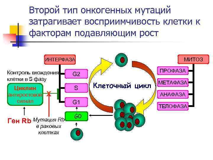Второй тип онкогенных мутаций затрагивает восприимчивость клетки к факторам подавляющим рост МИТОЗ ИНТЕРФАЗА Контроль