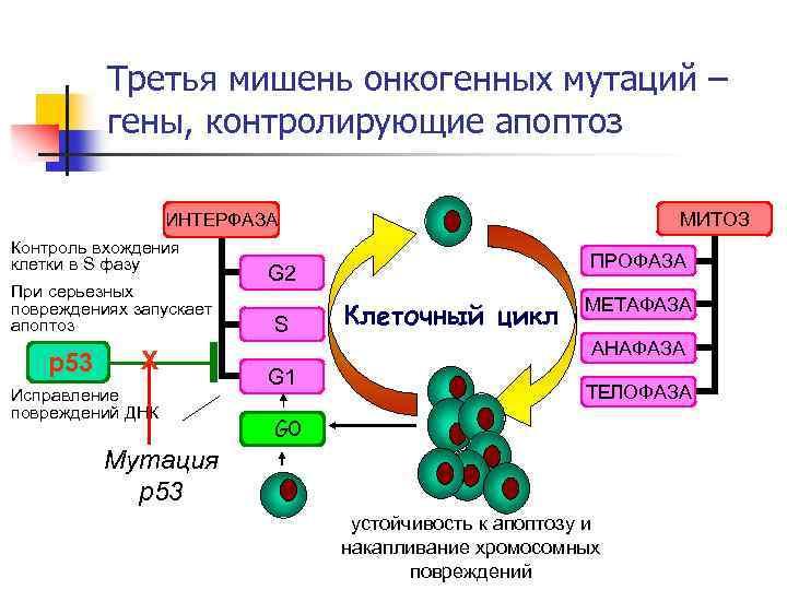 Третья мишень онкогенных мутаций – гены, контролирующие апоптоз МИТОЗ ИНТЕРФАЗА Контроль вхождения клетки в