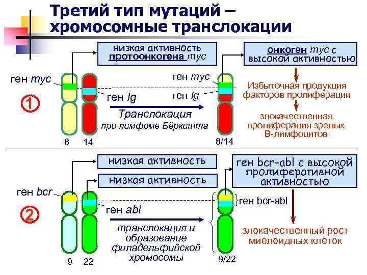 Третий тип мутаций – хромосомные транслокации низкая активность протоонкогена myc онкоген myc c высокой