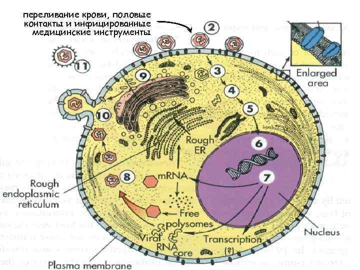 Шестой механизм, который провоцирует развитие опухоли – это вставка вирусного генетического материала в геном