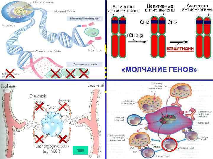 Неактивные антионкогены Активные антионкогены СН 3 - Активные антионкогены -СН 3 (СН 3 -)2