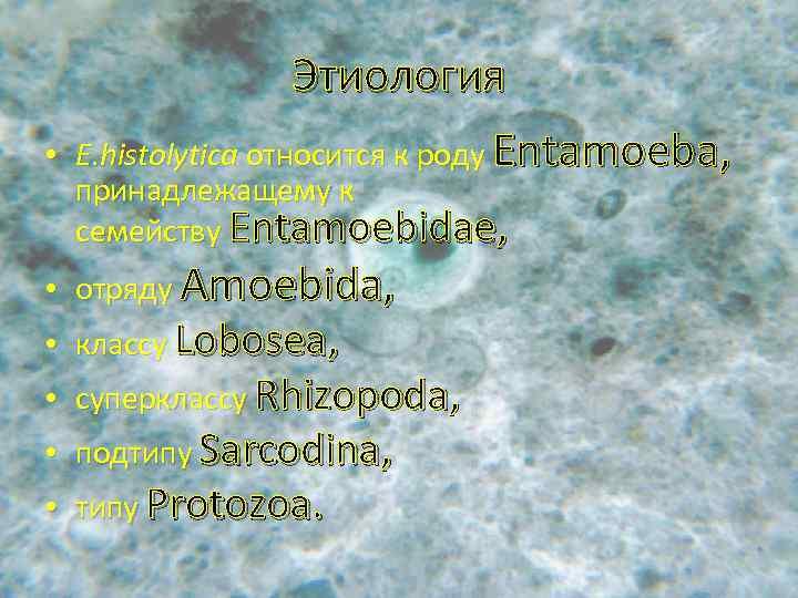 • Этиология Е. histolytica относится к роду Entamoeba, принадлежащему к семейству Entamoebidae, •