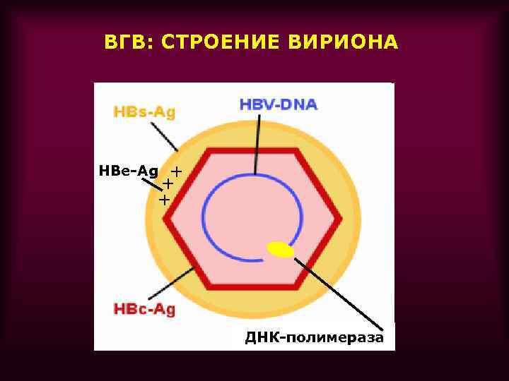 ВГВ: СТРОЕНИЕ ВИРИОНА + + + HBe-Ag ДНК-полимераза