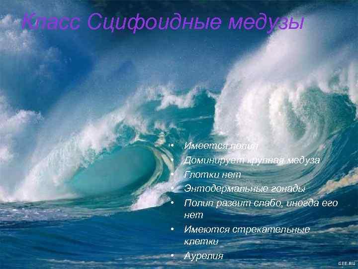 Класс Сцифоидные медузы • • • Имеется полип Доминирует крупная медуза Глотки нет Энтодермальные