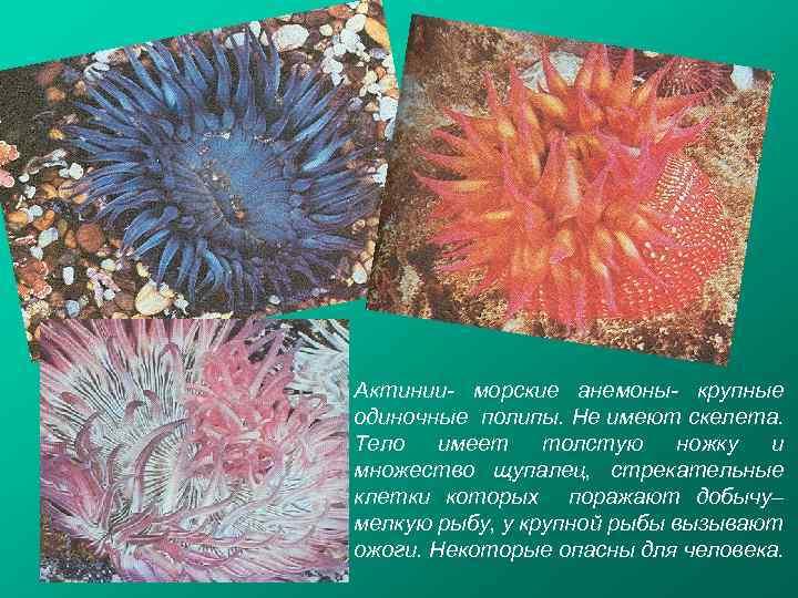 Актинии- морские анемоны- крупные одиночные полипы. Не имеют скелета. Тело имеет толстую ножку и