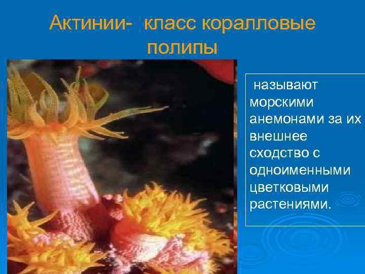 Актинии- класс коралловые полипы называют морскими анемонами за их внешнее сходство с одноименными цветковыми
