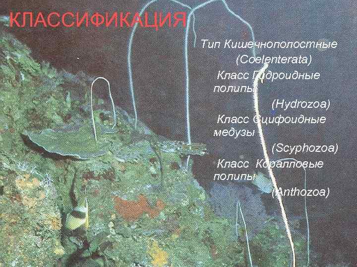 КЛАССИФИКАЦИЯ Тип Кишечнополостные (Coelenterata) Класс Гидроидные полипы (Hydrozoa) Класс Сцифоидные медузы (Scyphozoa) Класс Коралловые