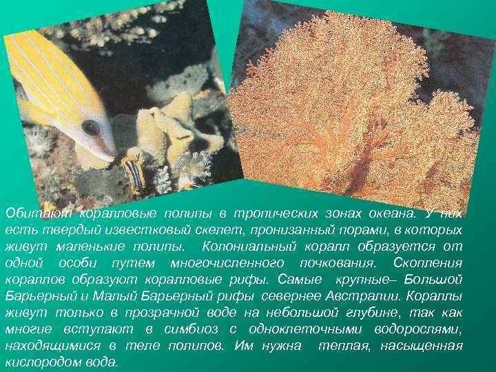 Обитают коралловые полипы в тропических зонах океана. У них есть твердый известковый скелет, пронизанный
