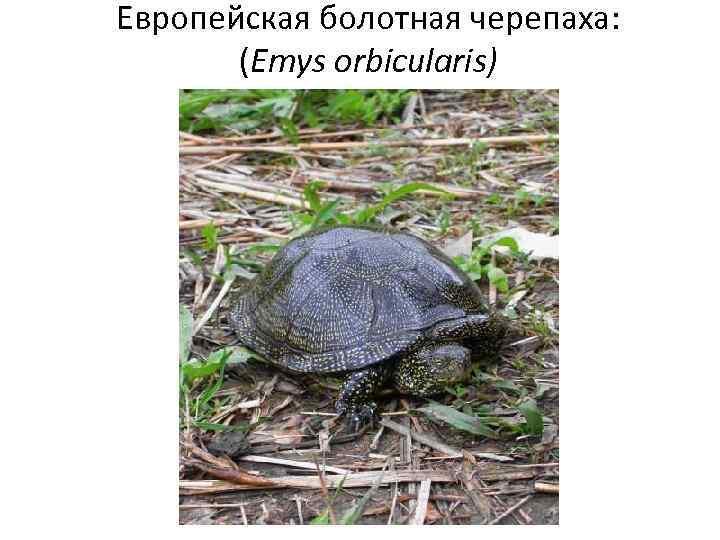 Европейская болотная черепаха: (Emys orbicularis)