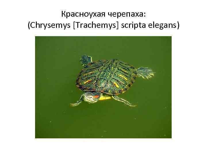 Красноухая черепаха: (Chrysemys [Trachemys] scripta elegans)