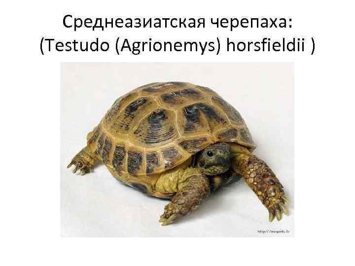 Среднеазиатская черепаха: (Testudo (Agrionemys) horsfieldii )