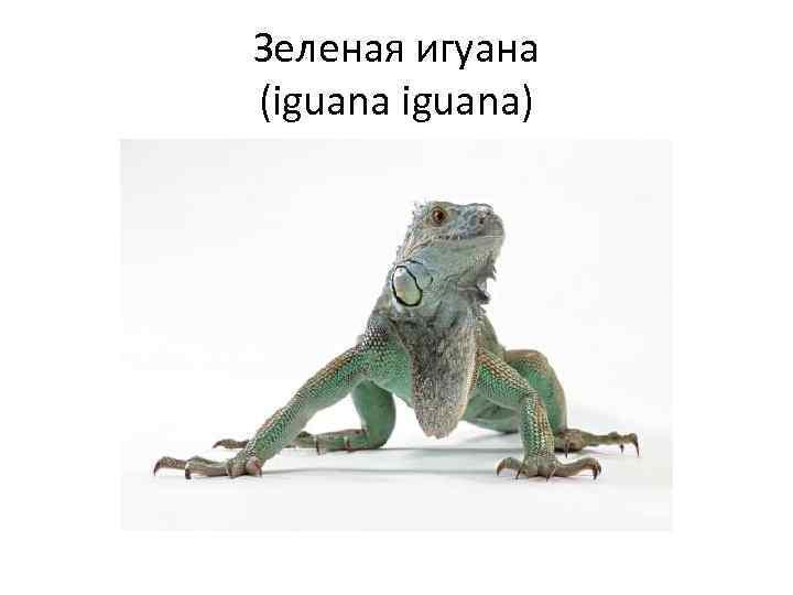 Зеленая игуана (iguana)