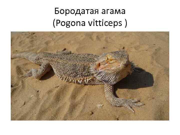Бородатая агама (Pogona vitticeps )