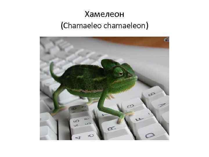 Хамелеон (Chamaeleo chamaeleon)