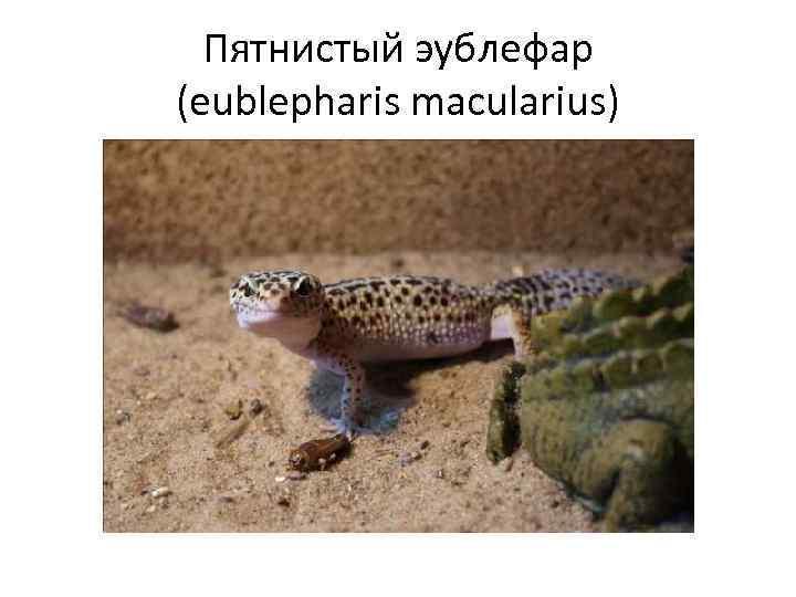 Пятнистый эублефар (eublepharis macularius)