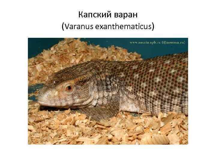 Капский варан (Varanus exanthematicus)
