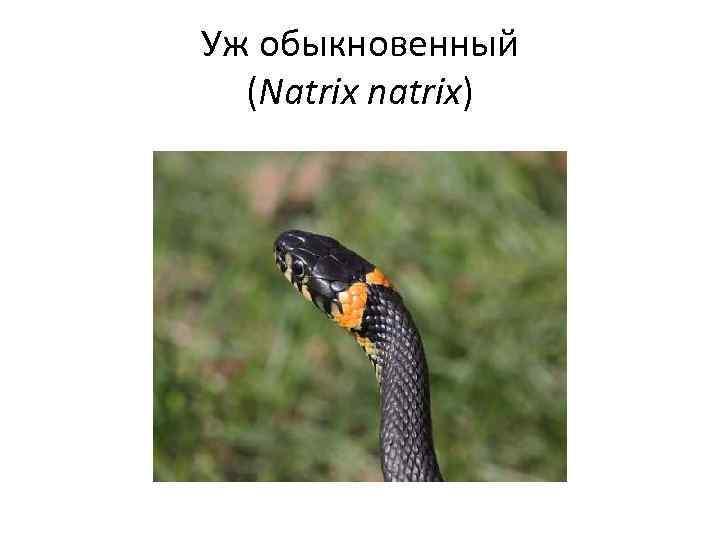 Уж обыкновенный (Natrix natrix)