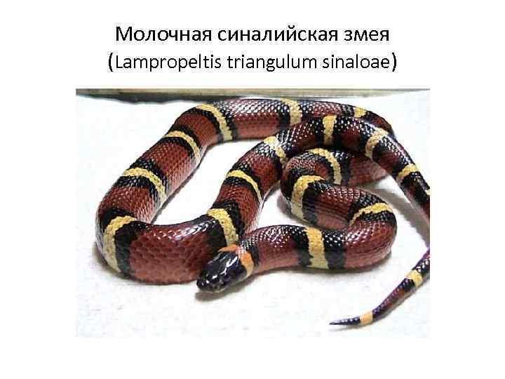 Молочная синалийская змея (Lampropeltis triangulum sinaloae)