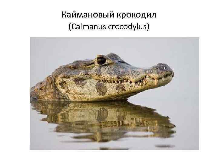 Каймановый крокодил (Caimanus crocodylus)