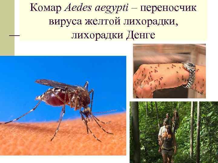 Комар Aedes аegypti – переносчик вируса желтой лихорадки, лихорадки Денге