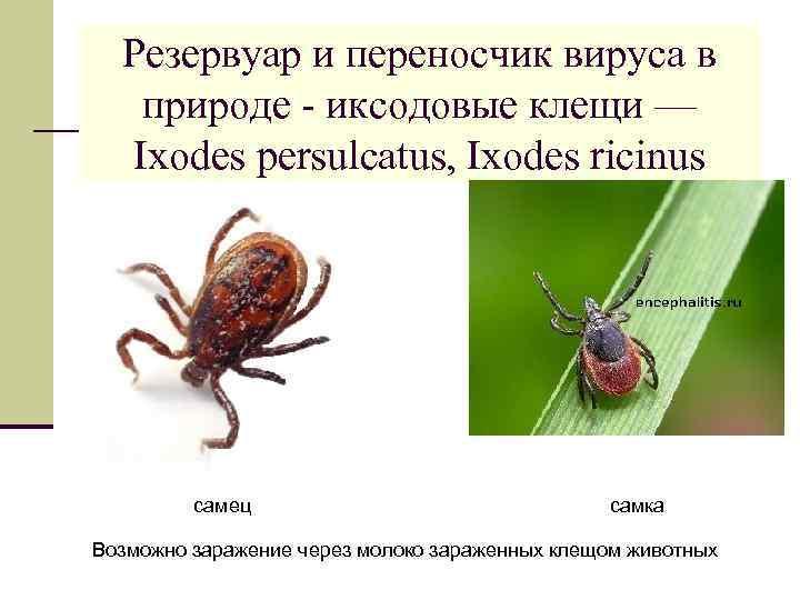 Резервуар и переносчик вируса в природе - иксодовые клещи — Ixodes persulcatus, Ixodes ricinus